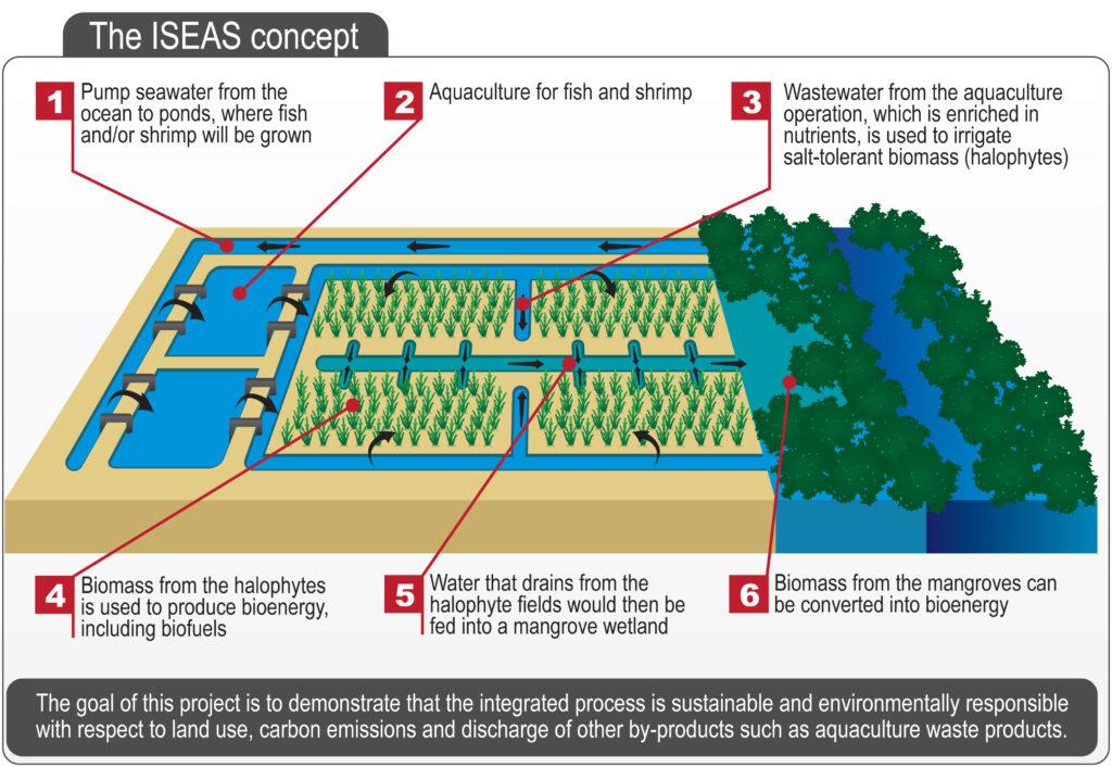 biodiesel, aereo, emissioni, biomassa, biomasse, Masdar Institute, progetto SEAS, salicornia, chimica, ambiente, energy close-up engineering